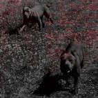 Hodowla Dragon-Bull